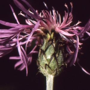 Photographie n°102358 du taxon Centaurea triumfetti subsp. lugdunensis (Jord.) Dostál [1976]