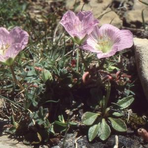 Photographie n°102510 du taxon Geranium cinereum Cav.
