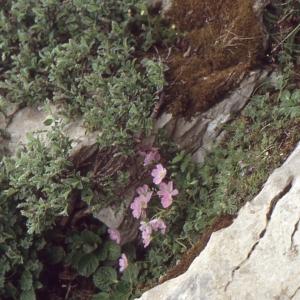 Photographie n°102511 du taxon Geranium cinereum Cav.