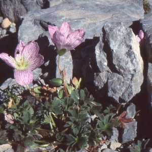 Photographie n°102512 du taxon Geranium cinereum Cav.