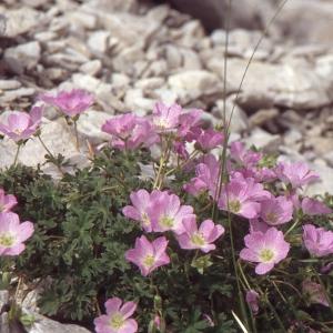Photographie n°102514 du taxon Geranium cinereum Cav.