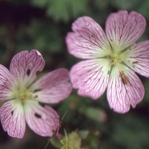 Photographie n°102515 du taxon Geranium cinereum Cav. [1787]