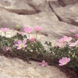 Photographie n°102516 du taxon Geranium cinereum Cav. [1787]
