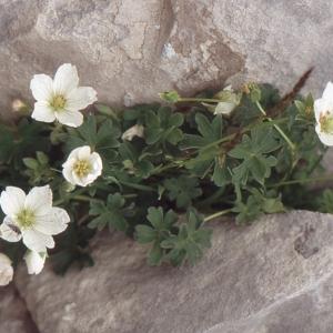 Photographie n°102517 du taxon Geranium cinereum Cav. [1787]