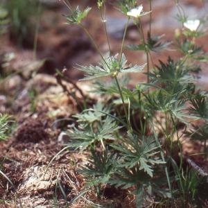 Photographie n°102521 du taxon Geranium rivulare Vill. [1779]