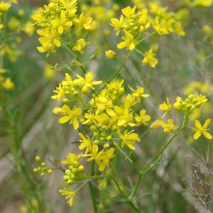 Rorippa pyrenaica (All.) Rchb. var. pyrenaica (Roripe des Pyrénées)