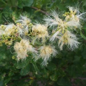 Thunbergia fragrans Roxb. (Flor de nieve)
