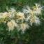 Liliane Roubaudi - Thunbergia fragrans Roxb.