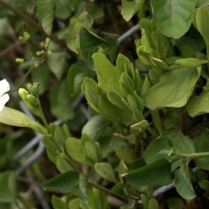 - Thunbergia fragrans Roxb.