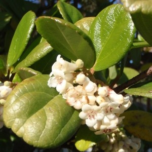 Photographie n°102602 du taxon Viburnum suspensum