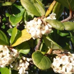 Photographie n°102603 du taxon Viburnum suspensum
