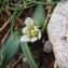Genevieve Botti - Allium chamaemoly L. [1753]