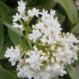 Centranthus ruber (L.) DC. (Centranthe rouge)