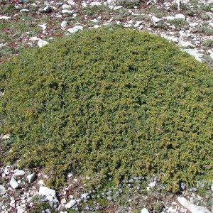 Juniperus communis subsp. hemisphaerica (C.Presl) Arcang. (Genévrier hémisphérique)