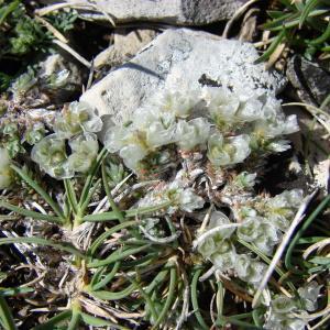 Photographie n°102783 du taxon Paronychia kapela (Hacq.) A.Kern. [1869]