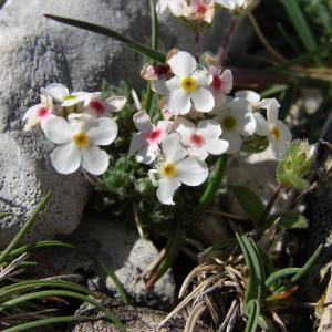 Photographie n°102789 du taxon Androsace villosa L. [1753]