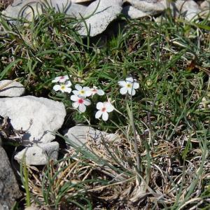 Photographie n°102790 du taxon Androsace villosa L. [1753]