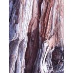 Metasequoia sp.