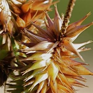 Photographie n°102844 du taxon Carex pseudocyperus L.