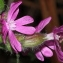Marie  Portas - Lychnis dioica subsp. diurna Bonnier & Layens [1894]