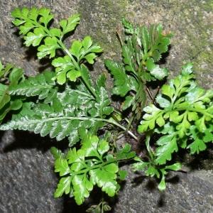 Photographie n°102984 du taxon Asplenium adiantum-nigrum L.