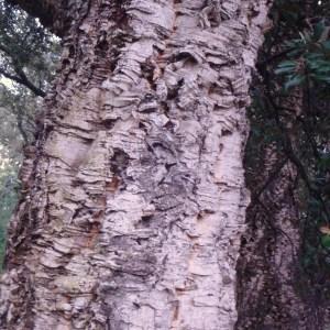 Photographie n°103013 du taxon Quercus suber L. [1753]