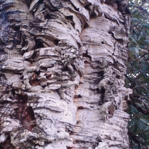 Photographie n°103014 du taxon Quercus suber L. [1753]