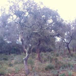 Photographie n°103015 du taxon Quercus suber L. [1753]