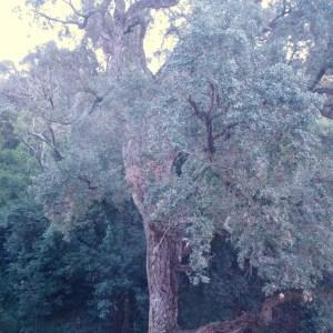 Photographie n°103016 du taxon Quercus suber L. [1753]