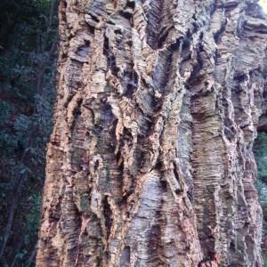 Photographie n°103017 du taxon Quercus suber L. [1753]