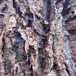Photographie n°103018 du taxon Quercus suber L. [1753]