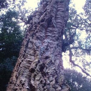 Photographie n°103019 du taxon Quercus suber L. [1753]