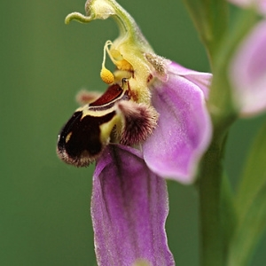 Photographie n°103164 du taxon Ophrys apifera Huds. [1762]