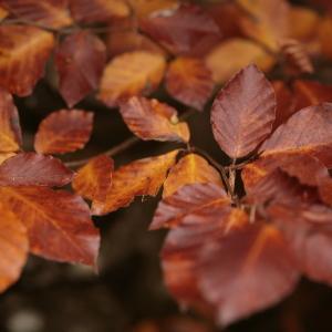 Photographie n°103170 du taxon Fagus sylvatica L.