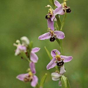 Photographie n°103175 du taxon Ophrys apifera Huds. [1762]