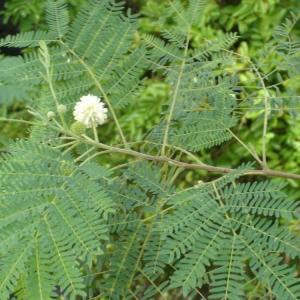 Leucaena leucocephala (Lam.) de Wit (Acacia)
