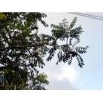 Spondias dulcis Sol. ex Parkinson (Pomme Cythère)