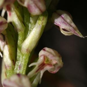 Neotinea maculata (Desf.) Stearn (Néotine)
