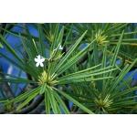 Plumeria alba L. (Frangipanier blanc)