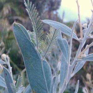 Photographie n°103335 du taxon Acacia hanburyana