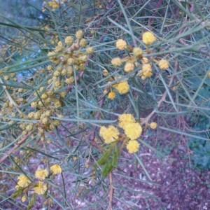 Photographie n°103337 du taxon Acacia calamifolia