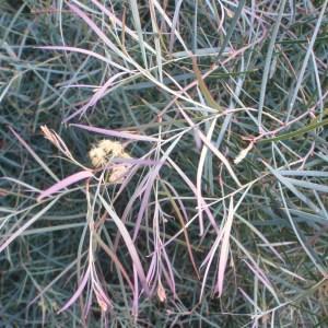 Photographie n°103338 du taxon Acacia iteaphylla