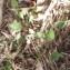 Genevieve Botti - Lepidium latifolium L.