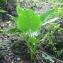 Liliane Roubaudi - Colocasia esculenta (L.) Schott