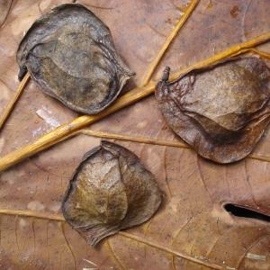 Photographie n°103396 du taxon Pterocarpus officinalis Jacq.