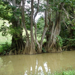 Photographie n°103397 du taxon Pterocarpus officinalis Jacq.