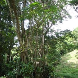 Photographie n°103398 du taxon Pterocarpus officinalis Jacq.