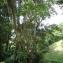 Liliane Roubaudi - Pterocarpus officinalis Jacq.