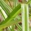 Marie  Portas - Carex pseudocyperus L.