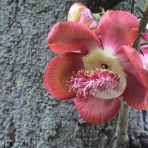 Couroupita guianensis Aubl. (Arbre à boulets de canon)